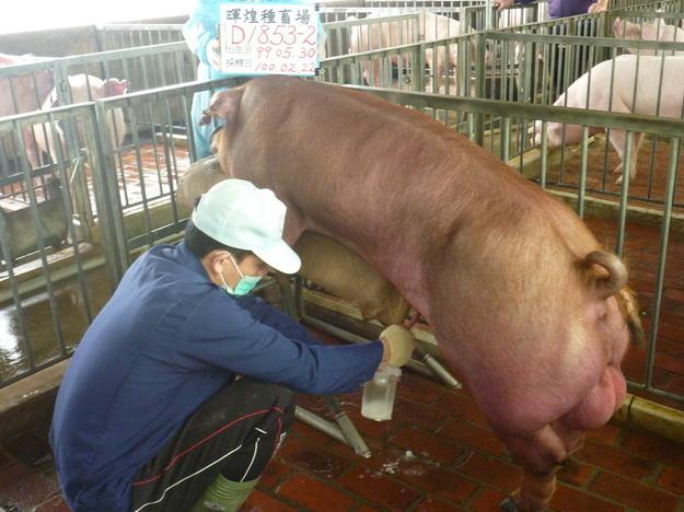 台灣區種豬產業協會10002期D1853-02採精相片