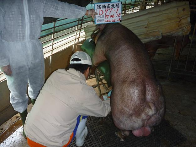 台灣區種豬產業協會10002期D0097-01採精相片