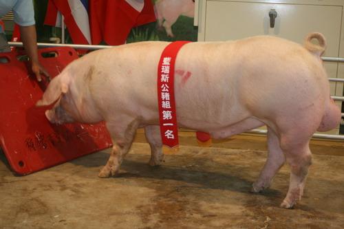 台灣區種豬產業協會9913期L0055-09拍賣相片(高價豬)