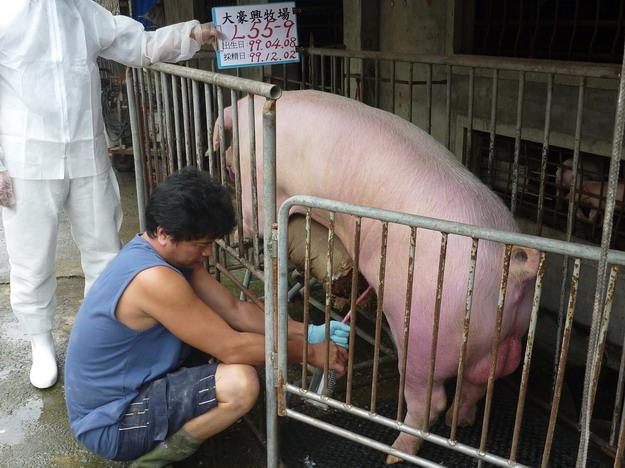 台灣區種豬產業協會9913期L0055-09採精相片