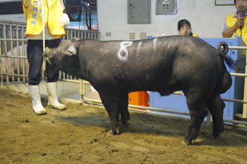 台灣動物科技研究所竹南檢定站9902期F1116-01拍賣相片(高價豬)