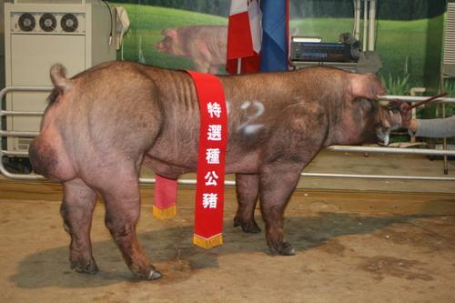 台灣區種豬產業協會10001期D1413-02拍賣相片(高價豬)