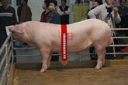 台灣區種豬產業協會10002期L0840-08拍賣相片(高價豬)