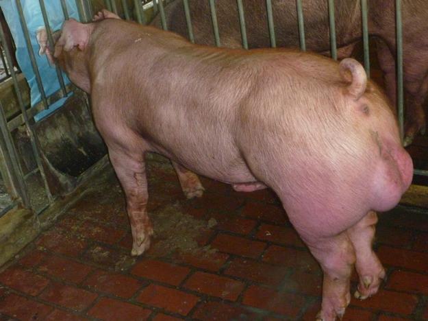 台灣區種豬產業協會10003期D1874-02側面相片