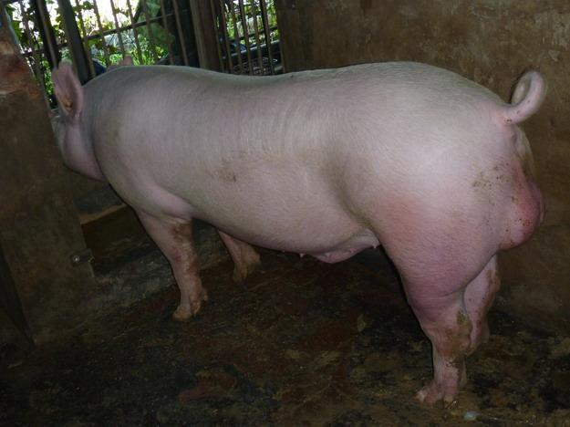 台灣區種豬產業協會10003期Y0744-01側面相片