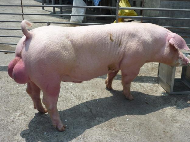 台灣區種豬產業協會10003期L0124-11側面相片