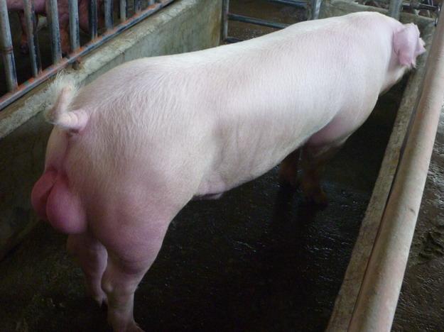 台灣區種豬產業協會10003期L1552-08側面相片