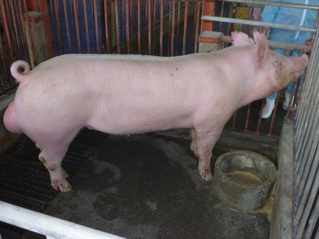 台灣區種豬產業協會10003期Y0677-07側面相片