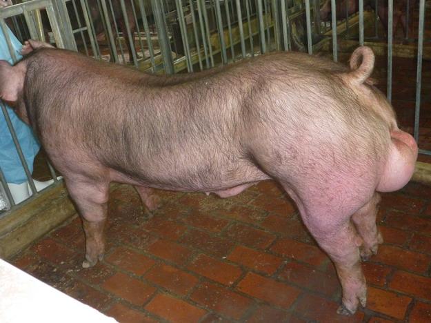 台灣區種豬產業協會10003期D1874-04側面相片
