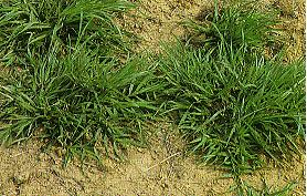 巴西亞雀稗(百喜草)Paspalum notatum Flugge