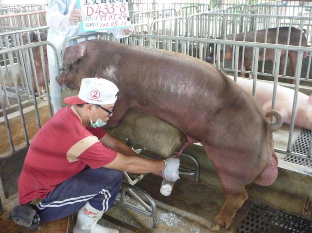 台灣區種豬產業協會10004期D0433-08採精相片