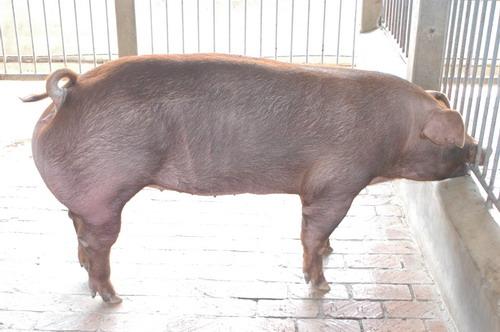 中央畜產會201010期D0117-11體型-全身相片