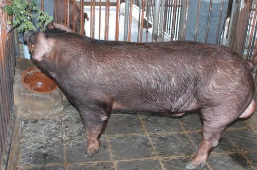 中央畜產會201010期D0386-03體型-全身相片