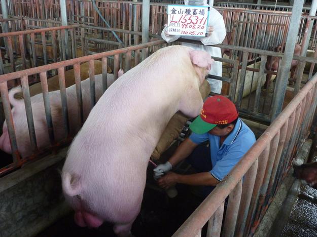 台灣區種豬產業協會10004期L1553-11採精相片