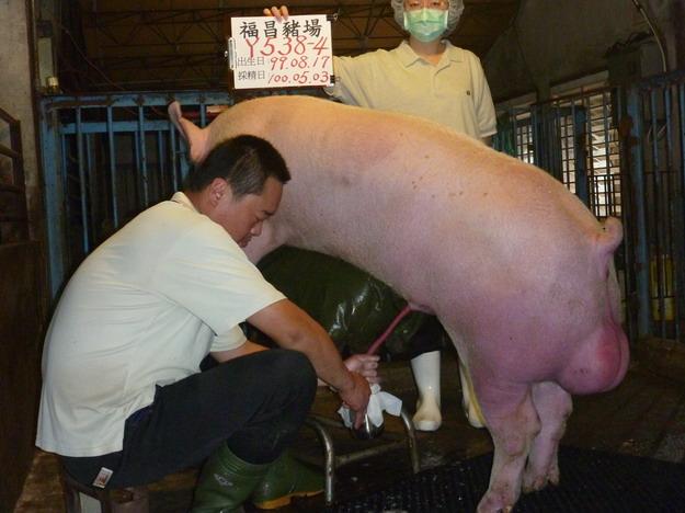 台灣區種豬產業協會10004期Y0538-04採精相片