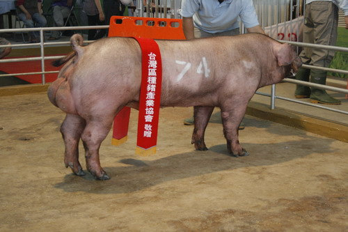 台灣區種豬產業協會10003期D1520-06拍賣相片(高價豬)