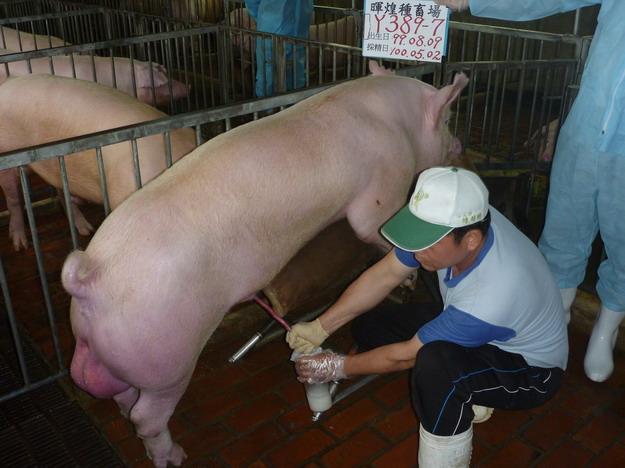 台灣區種豬產業協會10004期Y0389-07採精相片