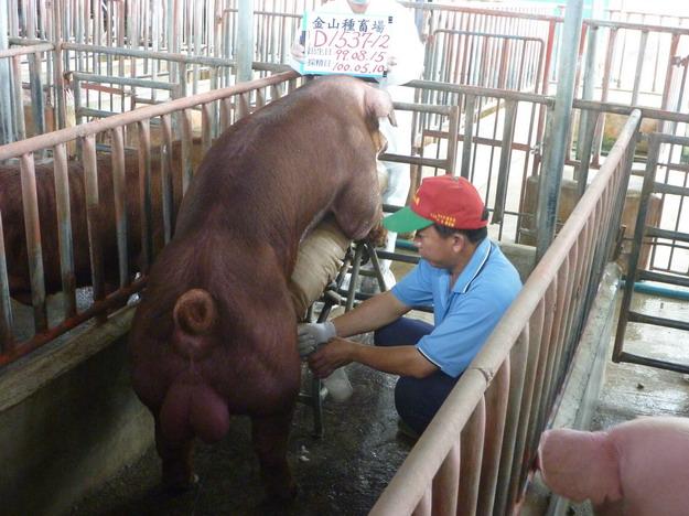 台灣區種豬產業協會10004期D1537-12採精相片