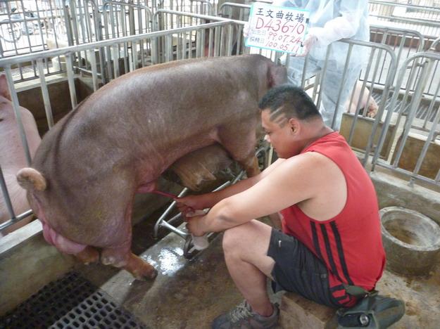 台灣區種豬產業協會10004期D0436-10採精相片