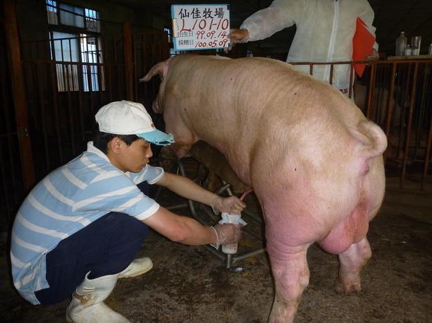 台灣區種豬產業協會10004期L0101-10採精相片