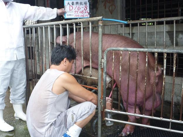 台灣區種豬產業協會10005期D0016-08採精相片