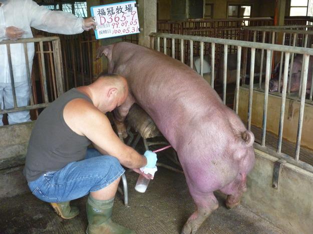 台灣區種豬產業協會10005期D0365-09採精相片
