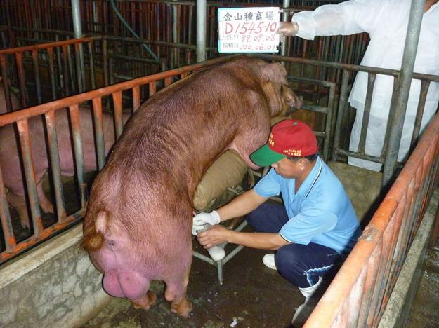 台灣區種豬產業協會10005期D1545-10採精相片