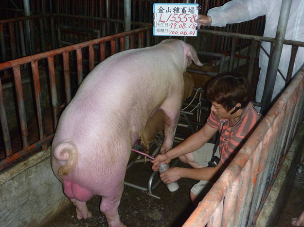 台灣區種豬產業協會10005期L1555-08採精相片