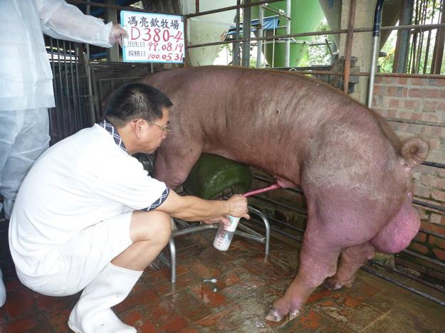 台灣區種豬產業協會10005期D0380-04採精相片