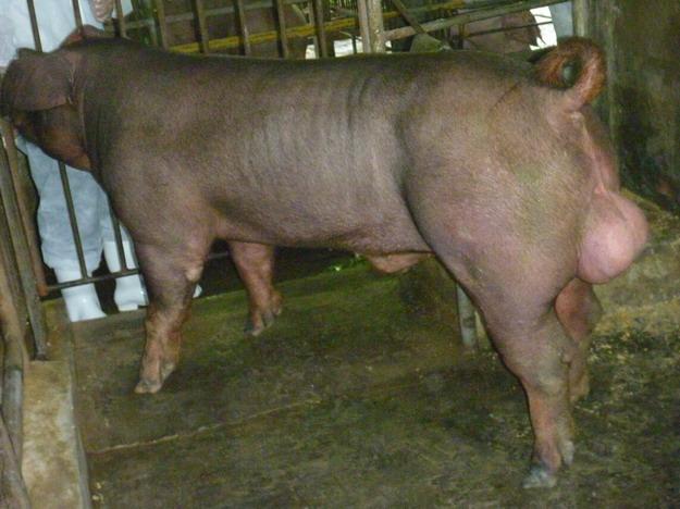 台灣區種豬產業協會10005期D0112-01側面相片
