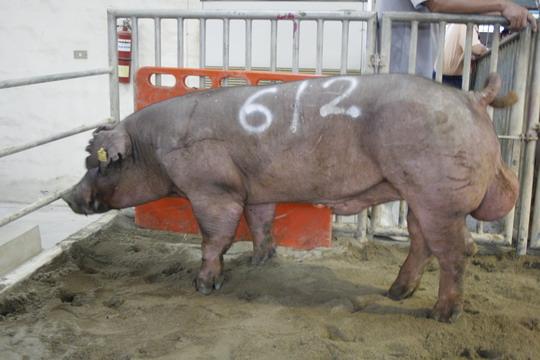 台灣動物科技研究所竹南檢定站9911期D1787-05拍賣相片(高價豬)
