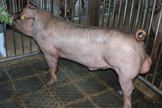 中央畜產會201101期D0499-08體型-全身相片