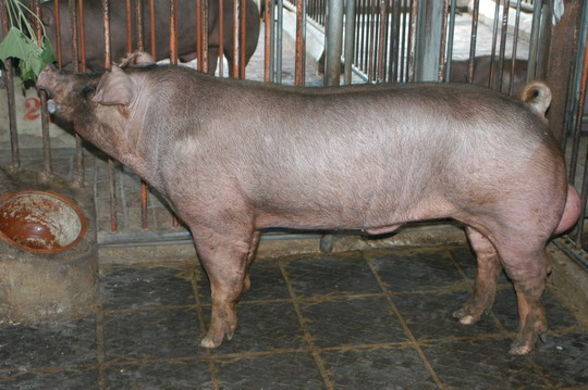 中央畜產會201101期D1899-04體型-全身相片