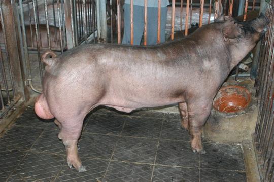 中央畜產會201101期D1891-02體型-全身相片