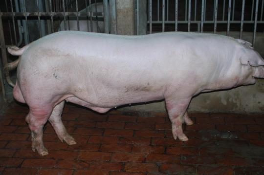 中央畜產會201101期L0151-06體型-全身相片