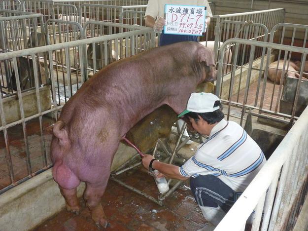 台灣區種豬產業協會10006期D0071-07採精相片