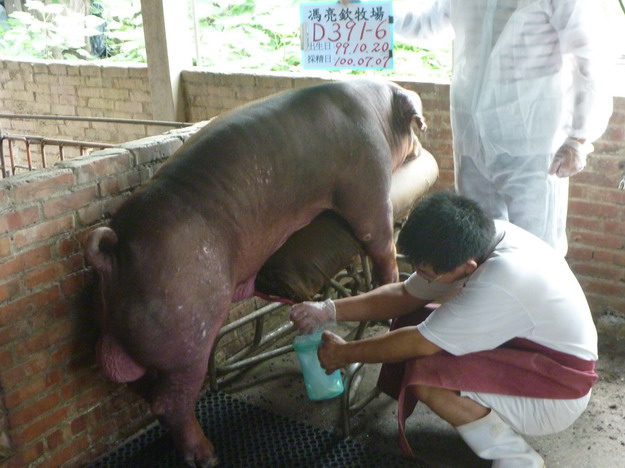 台灣區種豬產業協會10006期D0391-06採精相片