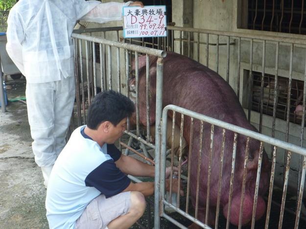 台灣區種豬產業協會10006期D0034-09採精相片