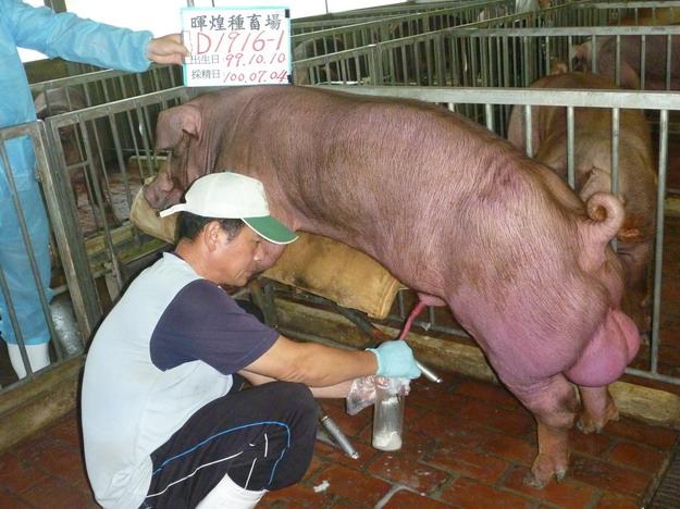 台灣區種豬產業協會10006期D1916-01採精相片