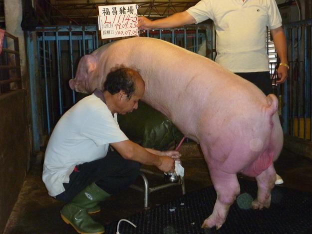 台灣區種豬產業協會10006期L1114-03採精相片