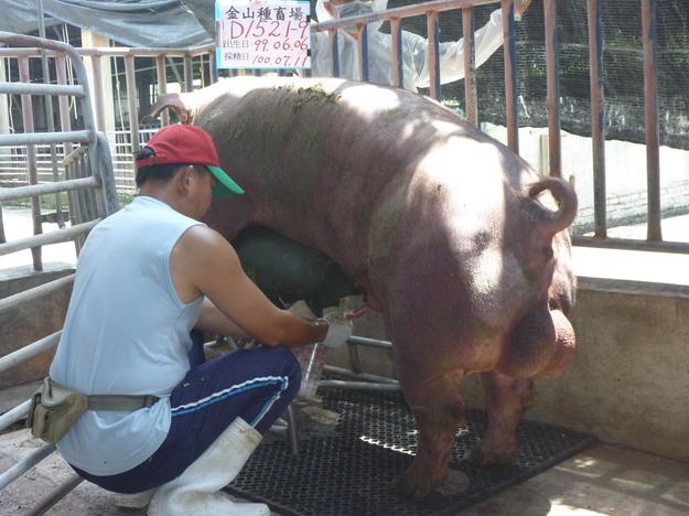台灣區種豬產業協會10006期D1521-09採精相片