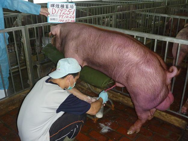 台灣區種豬產業協會10006期D1925-01採精相片
