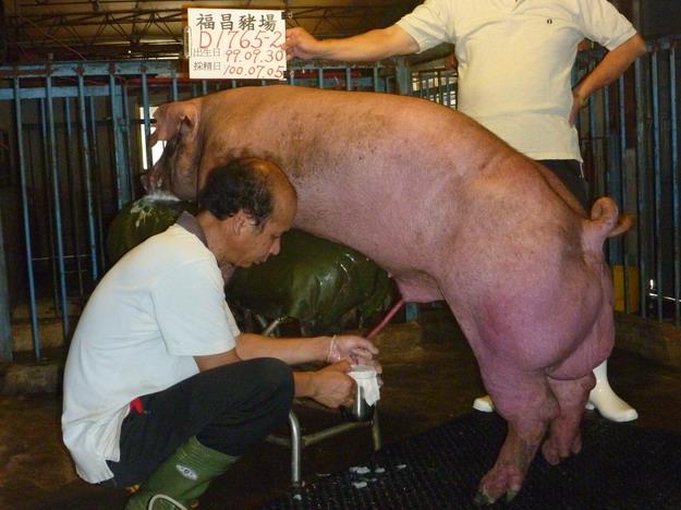 台灣區種豬產業協會10006期D1765-02採精相片