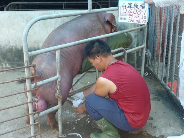 台灣區種豬產業協會10007期D0408-01採精相片