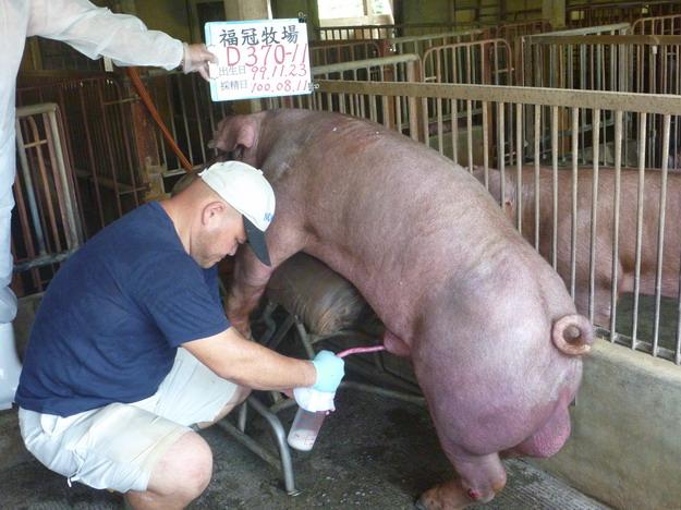 台灣區種豬產業協會10007期D0370-11採精相片
