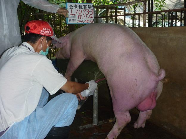 台灣區種豬產業協會10007期L1073-03採精相片
