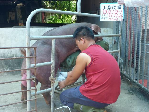台灣區種豬產業協會10007期D0410-01採精相片
