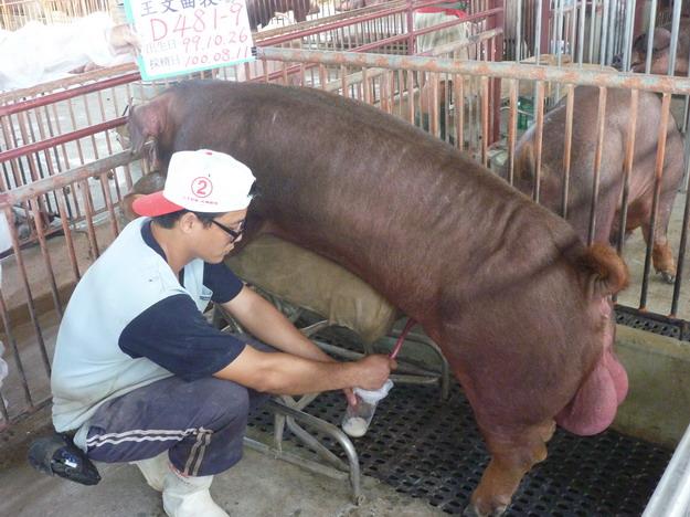 台灣區種豬產業協會10007期D0481-09採精相片