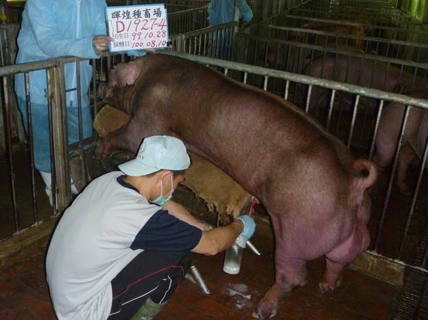 台灣區種豬產業協會10007期D1927-04採精相片