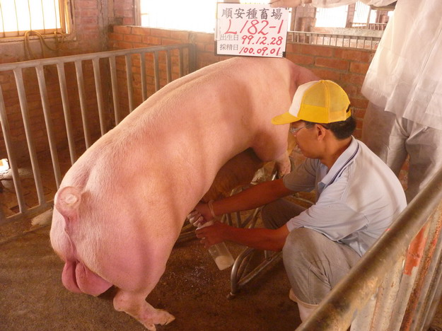 台灣區種豬產業協會10008期L0182-01採精相片